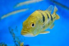 Τα διακοσμητικά ψάρια κολυμπούν στην ομάδα του ενυδρείου Αυτό ` s όμορφο και ενδιαφέρον Στοκ εικόνες με δικαίωμα ελεύθερης χρήσης