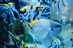 Τα διακοσμητικά ψάρια κολυμπούν στη λίμνη γυαλιού Στοκ Φωτογραφία
