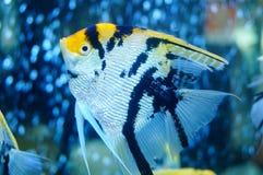Τα διακοσμητικά ψάρια κολυμπούν στη λίμνη γυαλιού Στοκ Φωτογραφίες