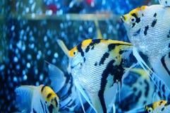 Τα διακοσμητικά ψάρια κολυμπούν στη λίμνη γυαλιού Στοκ εικόνα με δικαίωμα ελεύθερης χρήσης
