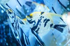 Τα διακοσμητικά ψάρια κολυμπούν στη λίμνη γυαλιού Στοκ φωτογραφίες με δικαίωμα ελεύθερης χρήσης
