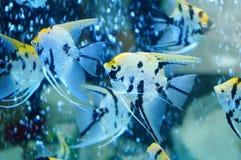Τα διακοσμητικά ψάρια κολυμπούν στη λίμνη γυαλιού Στοκ Εικόνα