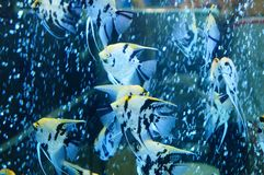 Τα διακοσμητικά ψάρια κολυμπούν στη λίμνη γυαλιού Στοκ φωτογραφία με δικαίωμα ελεύθερης χρήσης