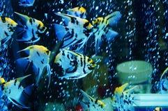 Τα διακοσμητικά ψάρια κολυμπούν στη λίμνη γυαλιού Στοκ εικόνες με δικαίωμα ελεύθερης χρήσης