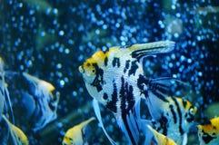 Τα διακοσμητικά ψάρια κολυμπούν στη λίμνη γυαλιού Στοκ Εικόνες