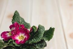 Τα δοχεία λουλουδιών κινηματογραφήσεων σε πρώτο πλάνο στο ξύλινο γραφείο και το χρώμα κρέμας wallpape Στοκ φωτογραφία με δικαίωμα ελεύθερης χρήσης