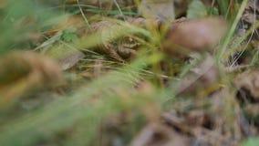 Τα δώρα του φθινοπώρου boletus edulis δασικός s σκίουρος ψωμιού απόθεμα βίντεο