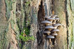 Τα εδώδιμα μανιτάρια του ostreatus Pleurotus μανιταριών στρειδιών αυξάνονται Στοκ φωτογραφία με δικαίωμα ελεύθερης χρήσης