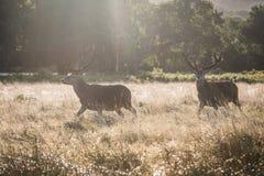 τα ελάφια φθινοπώρου πέφτ&omic στοκ φωτογραφίες