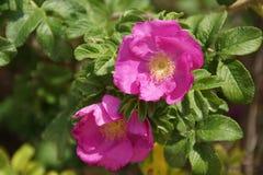 Τα ελκυστικά λουλούδια των ρόδινων ζωών χρώματος άναψαν διαφωτισμένος από το φως του ήλιου Μπροστινή άποψη - Πορτογαλία Στοκ Εικόνες
