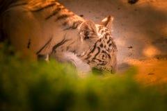 Τα ενήλικα μόνα ποτά τιγρών σε μια τρύπα νερού κλείνουν επάνω στοκ εικόνα με δικαίωμα ελεύθερης χρήσης