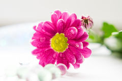 Τα ενιαία ρόδινα χρυσάνθεμα κλείνουν επάνω το μακρο macrophoto λουλουδιών Στοκ φωτογραφίες με δικαίωμα ελεύθερης χρήσης
