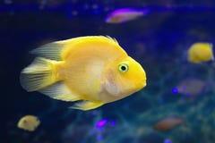 Τα εξωτικά ψάρια κολυμπούν στο βαθιά μπλε νερό Στοκ φωτογραφία με δικαίωμα ελεύθερης χρήσης