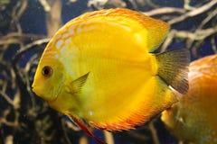 Τα επίπεδα φωτεινά κίτρινα ψάρια ενυδρείων επιπλέουν στο νερό σε ένα κλίμα των αλγών Εξωτικά ψάρια στο ενυδρείο Κινηματογράφηση σ Στοκ εικόνες με δικαίωμα ελεύθερης χρήσης