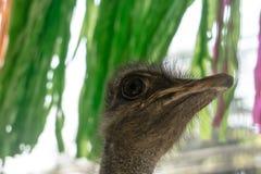 Τα επικεφαλής μεγάλα κατοικίδια ζώα πουλιών στρουθοκαμήλων παρουσιάζουν Στοκ Εικόνες