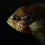 τα επικεφαλής lepomis gibbosus sunfish Στοκ Εικόνα