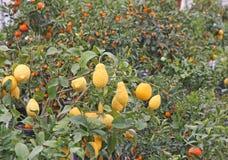 Τα εσπεριδοειδή φυτεύουν τα πορτοκάλια και τα λεμόνια ανάπτυξης στη Σικελία Στοκ Φωτογραφία