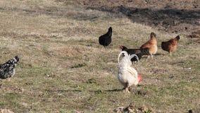 Τα εσωτερικά κοτόπουλα βόσκουν στο χορτοτάπητα στο χωριό απόθεμα βίντεο