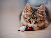 Τα εσωτερικά πολύχρωμα παιχνίδια γατακιών με ένα παιχνίδι Στοκ εικόνες με δικαίωμα ελεύθερης χρήσης
