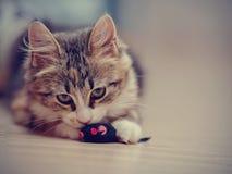 Τα εσωτερικά πολύχρωμα παιχνίδια γατακιών με ένα παιχνίδι Στοκ φωτογραφία με δικαίωμα ελεύθερης χρήσης
