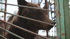 Τα ευρωπαϊκά ευρασιατικά καφετιά ρωσικά αντέχουν το ροκανίζοντας κλουβί Ursus Arctos Arctos στο ζωολογικό κήπο φιλμ μικρού μήκους