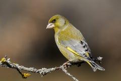 Τα ευρωπαϊκά chloris Chloris greenfinch ή το κοινό greenfinch είναι ένα Songbird της διαταγής του Passeriformes και της οικογένει στοκ φωτογραφίες με δικαίωμα ελεύθερης χρήσης