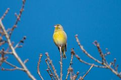 Τα ευρωπαϊκά chloris Chloris greenfinch που κάθονται ενάντια στο μπλε ουρανό στοκ εικόνες