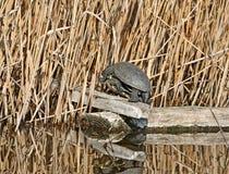Τα ευρωπαϊκά orbicularis Emys χελωνών λιμνών στοκ φωτογραφία με δικαίωμα ελεύθερης χρήσης