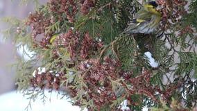 Τα ευρωπαϊκά siskins τρώνε τους σπόρους του thuja το χειμώνα φιλμ μικρού μήκους