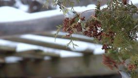 Τα ευρωπαϊκά siskins τρώνε τους σπόρους του thuja το χειμώνα απόθεμα βίντεο