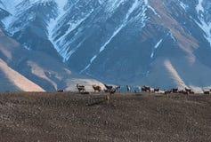 Τα ελάφια βόσκουν στο λιβάδι βουνών στα ξημερώματα Στοκ εικόνα με δικαίωμα ελεύθερης χρήσης