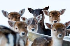 Τα ελάφια Sika με το μουτζουρωμένο backgound στην άγρια φύση πιό forrest κερδίζουν μέσα Στοκ Εικόνα