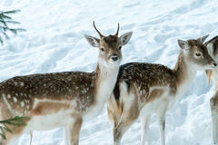 Τα ελάφια Sika με το μουτζουρωμένο backgound στην άγρια φύση πιό forrest κερδίζουν μέσα Στοκ Εικόνες