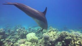 Τα δελφίνια κολυμπούν κοντά στους δύτες απόθεμα βίντεο
