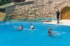 Τα δελφίνια Bottlenose είναι μεγάλα δελφίνια, ή bottlenose δελφίνια lat Truncatus Tursiops με τις σφαίρες στην αντιπροσώπευση στο Στοκ εικόνα με δικαίωμα ελεύθερης χρήσης