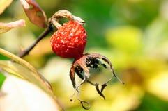 Τα ζαρωμένα φρούτα των άγρια περιοχών αυξήθηκαν σε έναν κήπο φθινοπώρου στοκ φωτογραφία