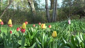 Τα ζωηρά λουλούδια, το δέντρο και η κιόσκι τουλιπών σταθμεύουν την άνοιξη, κήπος 4K απόθεμα βίντεο