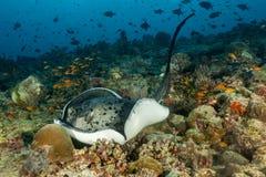 Τα ζωηρόχρωμα κοράλλια στις Μαλδίβες, υποβρύχιες εγκαταστάσεις και stingray εσείς δεν θα δουν ποτέ οπουδήποτε στοκ φωτογραφία