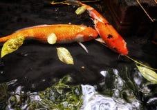 Τα ζωηρόχρωμα φανταχτερά ψάρια κυπρίνων, ψάρια koi κολυμπούν στη λίμνη, στοκ εικόνα
