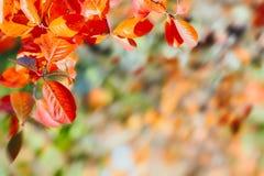 Τα ζωηρόχρωμα φύλλα φθινοπώρου διακλαδίζονται φυσικό υπόβαθρο Ζωηρόχρωμο κόκκινο και κίτρινο φύλλωμα φθινοπώρου με το θολωμένο υπ στοκ εικόνα με δικαίωμα ελεύθερης χρήσης