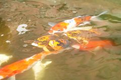 Τα ζωηρόχρωμα ψάρια φαντάζονται τον κυπρίνο, τον κυπρίνο καθρεφτών ή carpio cyprinus το haematopterus λιμοκτονώντας στο νερό στοκ φωτογραφίες