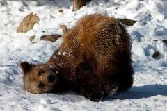 τα ζωικά arctos αντέχουν το καφ&e Στοκ Φωτογραφία