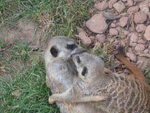 Τα ζώα αγκαλιάζουν Στοκ Εικόνα
