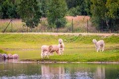 Τα ζώα λάμα ποτίζουν πλησίον το περπάτημα στοκ εικόνα με δικαίωμα ελεύθερης χρήσης