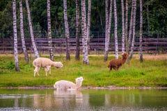 Τα ζώα λάμα ποτίζουν πλησίον το περπάτημα στοκ εικόνες με δικαίωμα ελεύθερης χρήσης