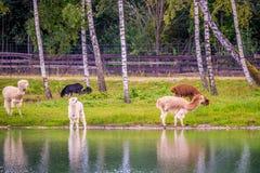 Τα ζώα λάμα ποτίζουν πλησίον το περπάτημα στοκ φωτογραφίες