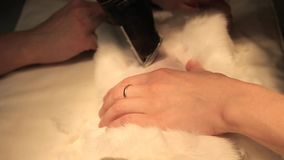 Τα θηλυκά κτηνιατρικά βοηθητικά χέρια κλινικών ξυρίζουν ένα άσπρο χνουδωτό ζώο με έναν κουρευτή ζώων Προετοιμασία για τη χειρουργ φιλμ μικρού μήκους
