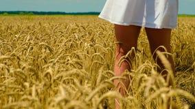 Τα θηλυκά πόδια και το μέρος των άσπρων sundress από ο αέρας που κυματίζουν στον τομέα του χρυσού θηλυκού χεριού σίτου έπειτα σχί απόθεμα βίντεο