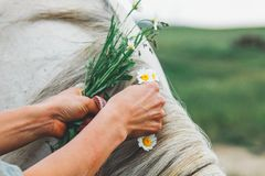 Τα θηλυκά χέρια πλέκουν σε έναν γκρίζο Μάιν ενός αλόγου ενός chamomile στοκ εικόνα