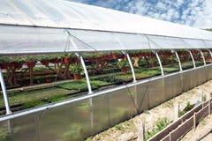 Τα διακοσμητικά λουλούδια αυξάνονται στις εγκαταστάσεις βρεφικών σταθμών θερμοκηπίων Στοκ Φωτογραφίες